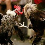 Judi Sabung Ayam Online Bonus Kemenangan 100 Persen